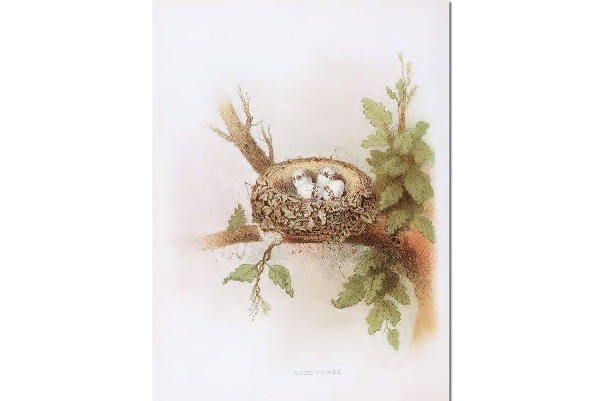 Nests & Eggs: Wood Pewee