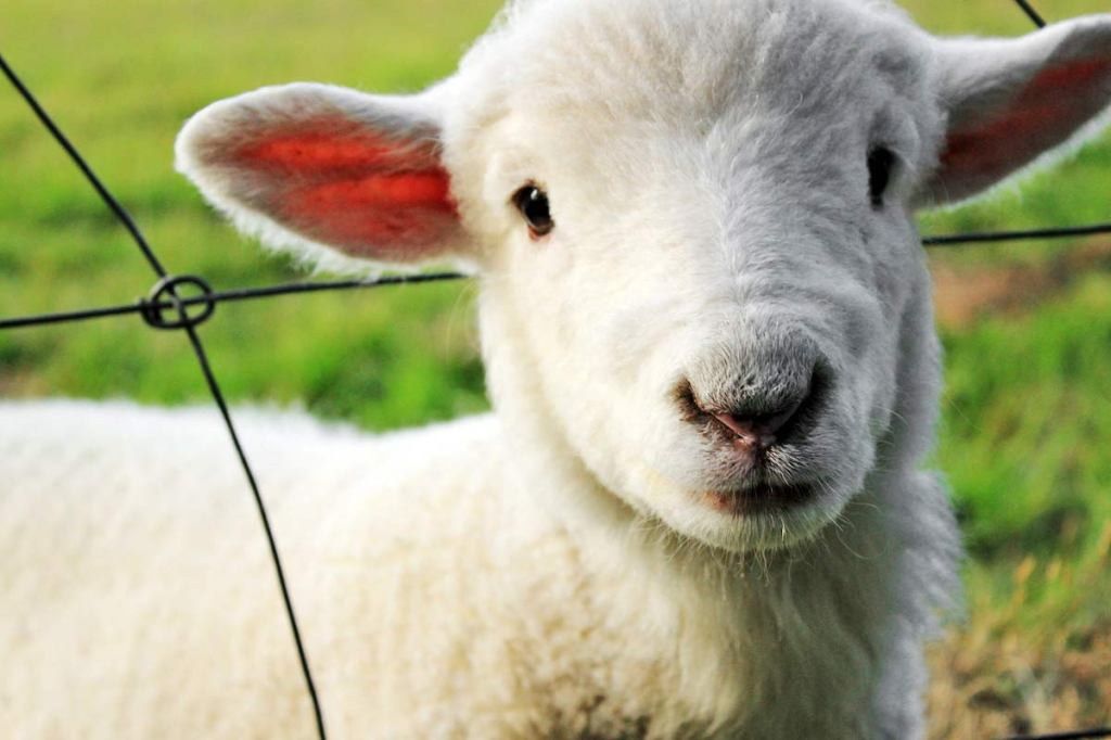 """The Lamb"" by Blake"