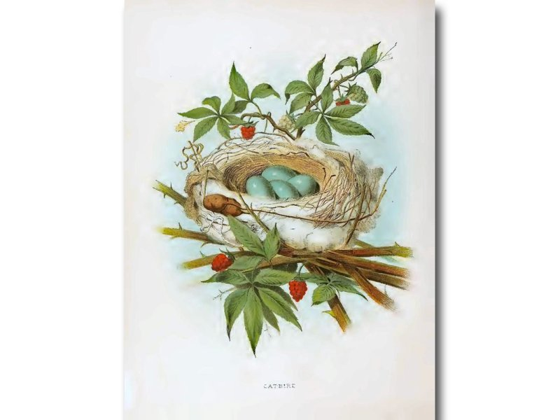 Nests & Eggs: Catbird