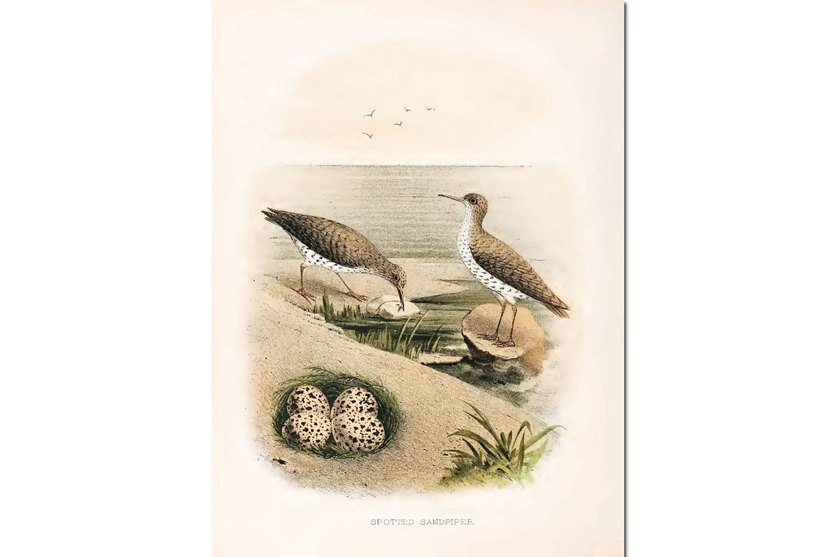 Nests & Eggs: Spotted Sandpiper