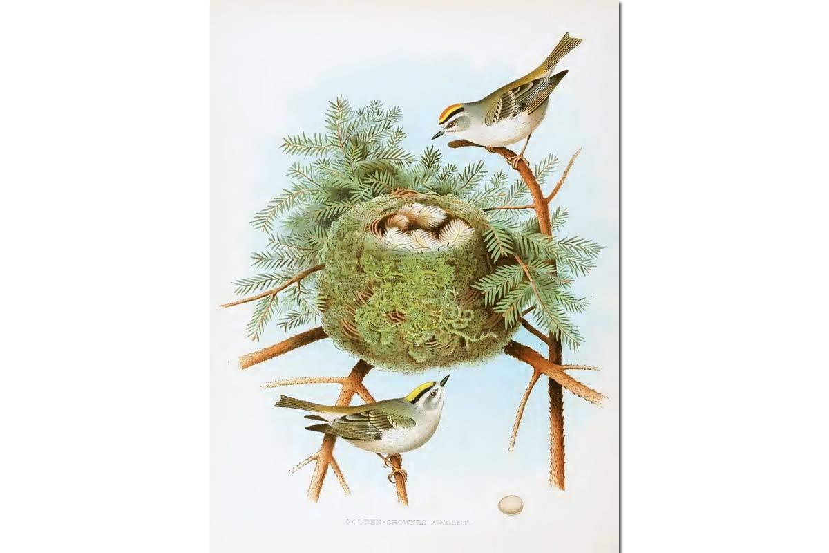 Nests & Eggs: Golden-Crowned Kinglet