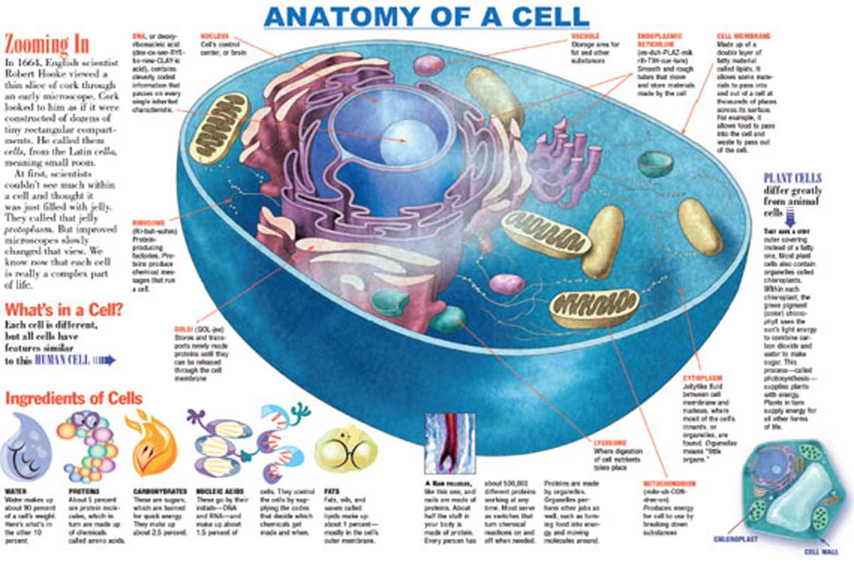 Anatomy of a Cell Infographic {Free Download}