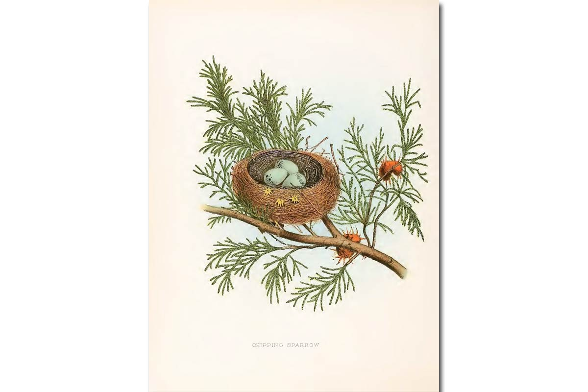 Nests & Eggs: Chipping Sparrow