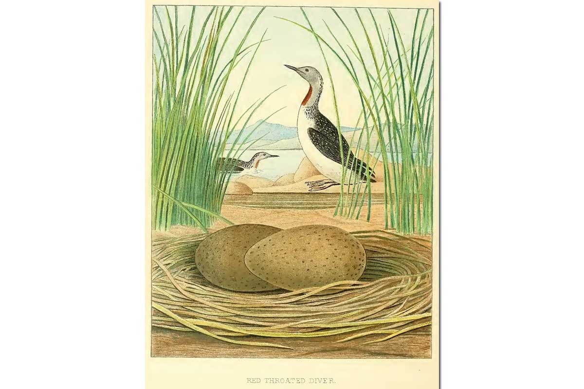 Nests & Eggs: Red-throated Diver