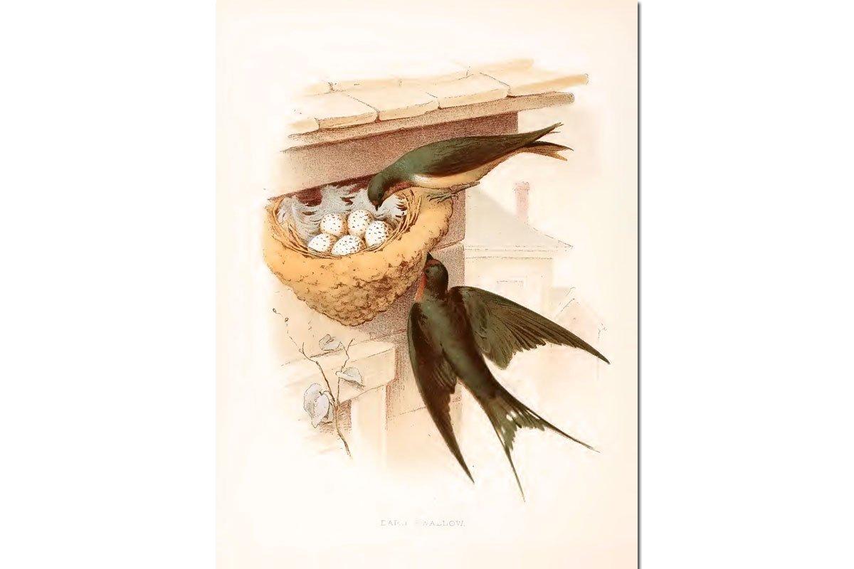 Nests & Eggs: Barn Swallow