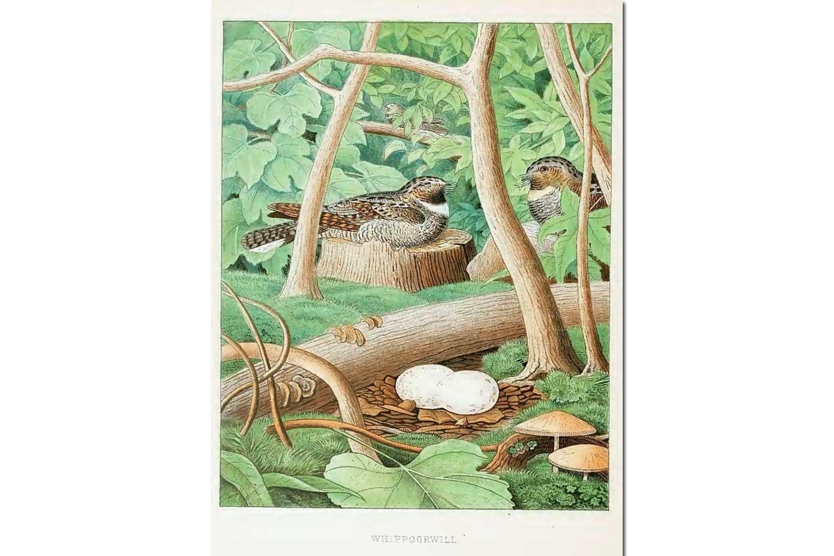 Nests & Eggs: Whippoorwill