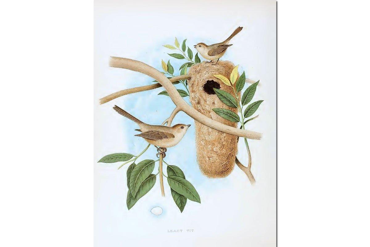 Nests & Eggs: Bushtit