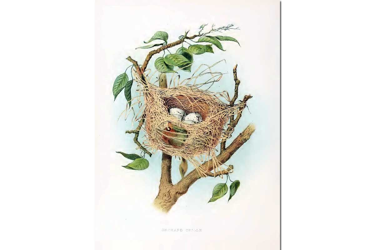 Nests & Eggs: Orchard Oriole