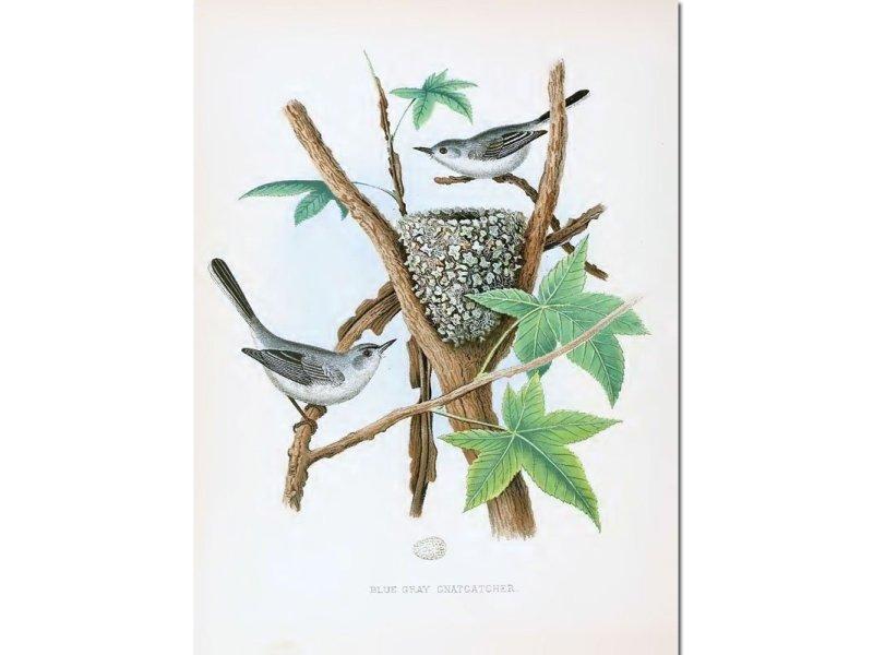 Nests & Eggs: Blue-Gray Gnatcatcher