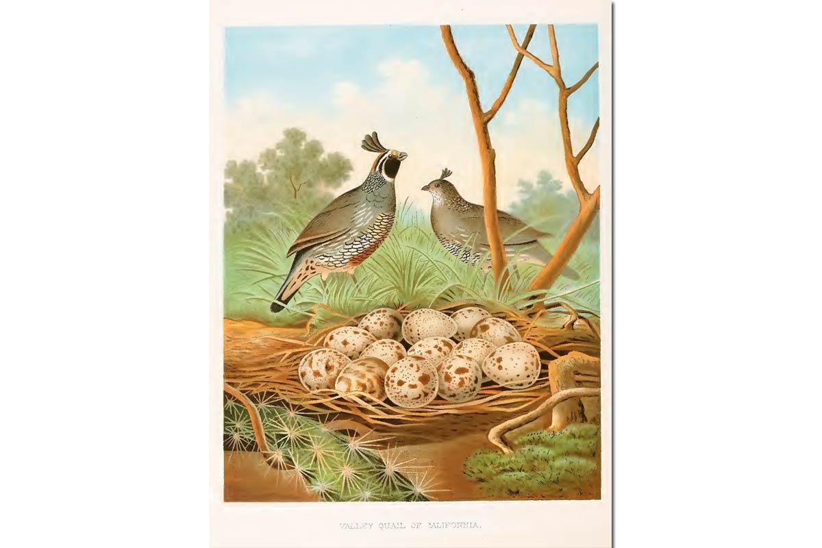 Nests & Eggs: California Quail