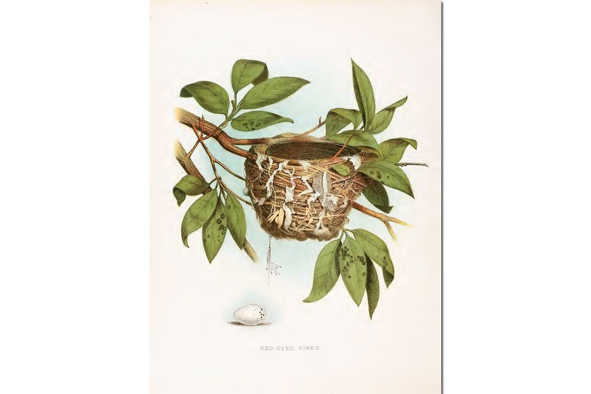Nests & Eggs: Red-eyed Vireo