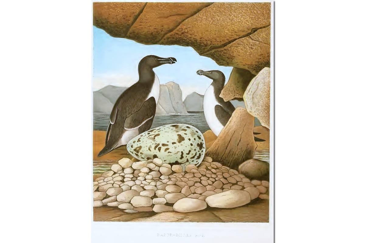Nests & Eggs: Razorbill