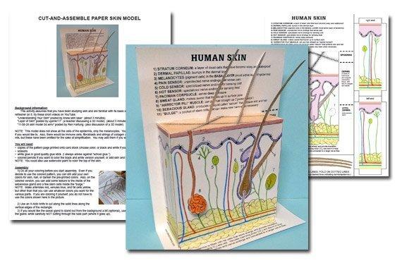 Model of Human Skin {Free Download}