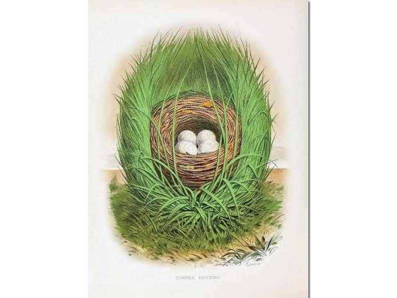 Nests & Eggs: Towhee Bunting
