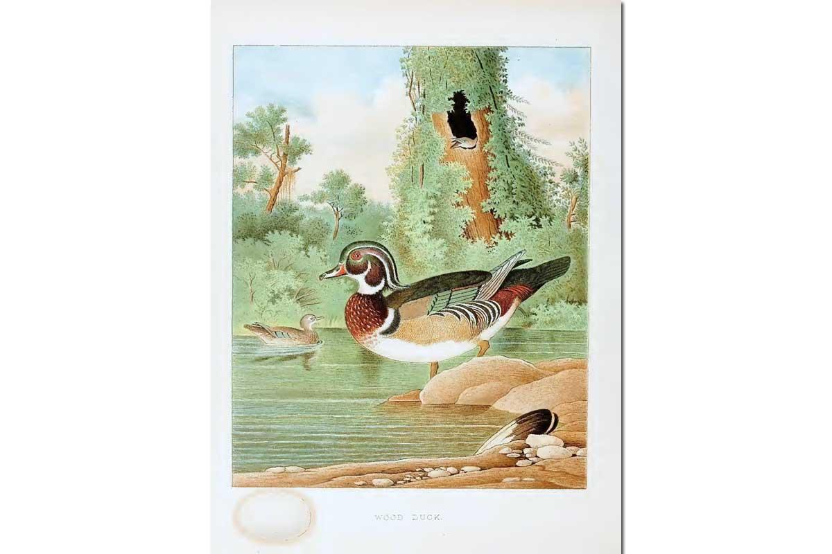 Nests & Eggs: Wood Duck