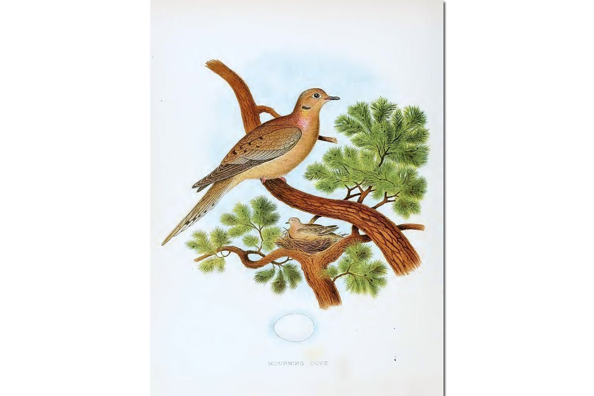 Nests & Eggs: Mourning Dove