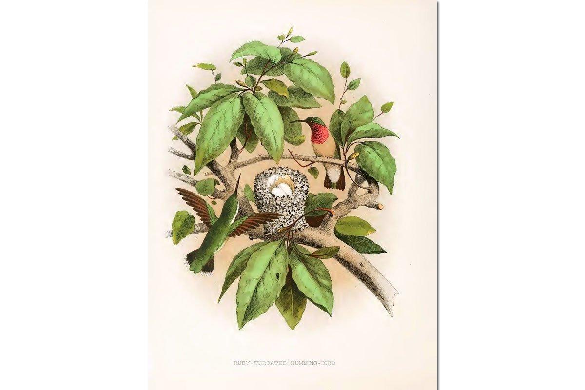 Nests & Eggs: Ruby-throated Hummingbird