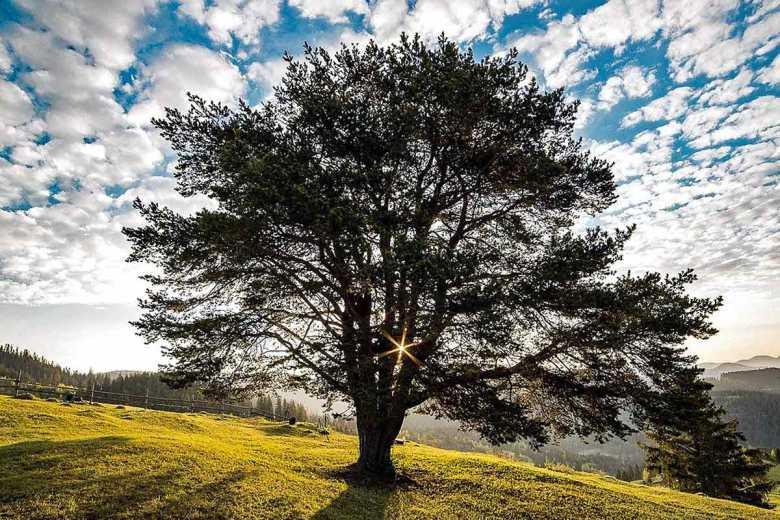 """Trees"" by Joyce Kilmer"