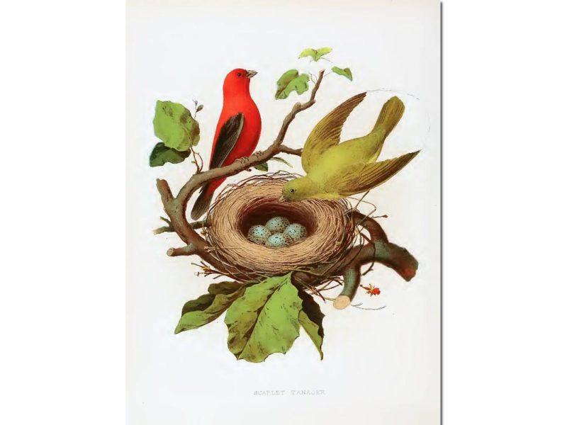 Nest & Eggs: Scarlet Tanager