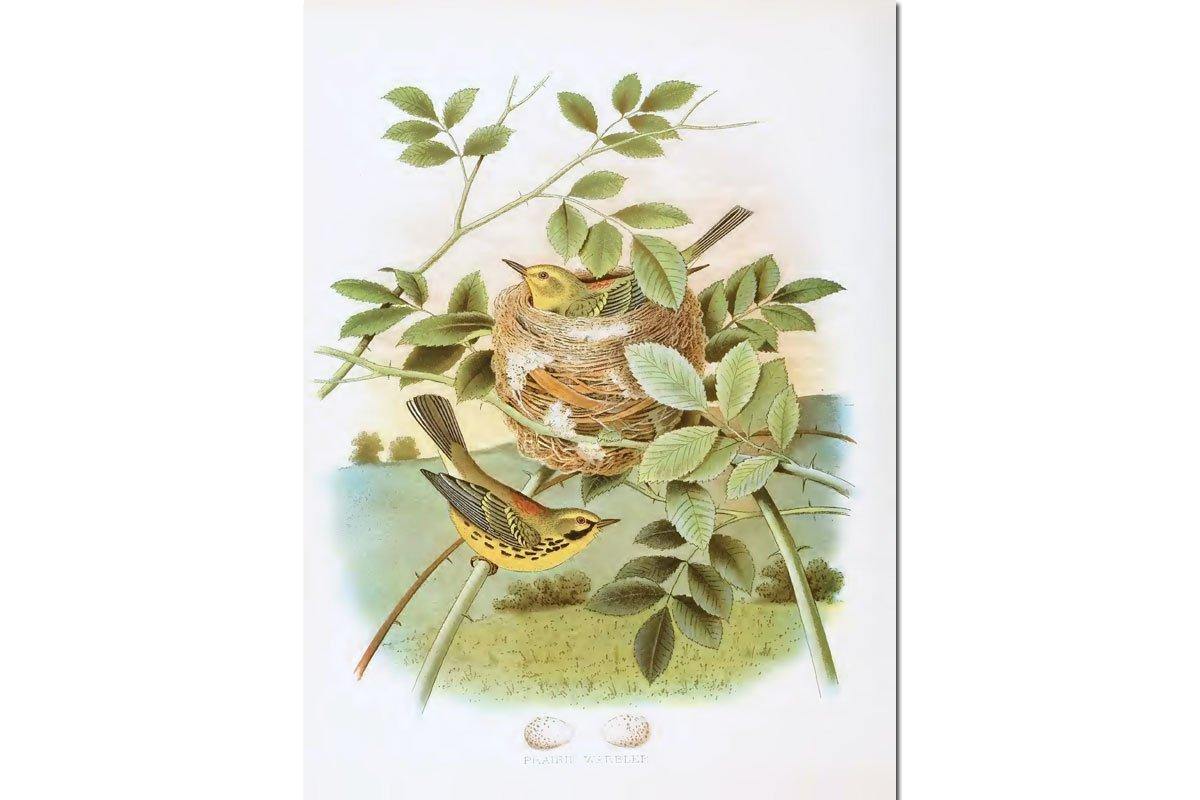 Nests & Eggs: Prairie Warbler