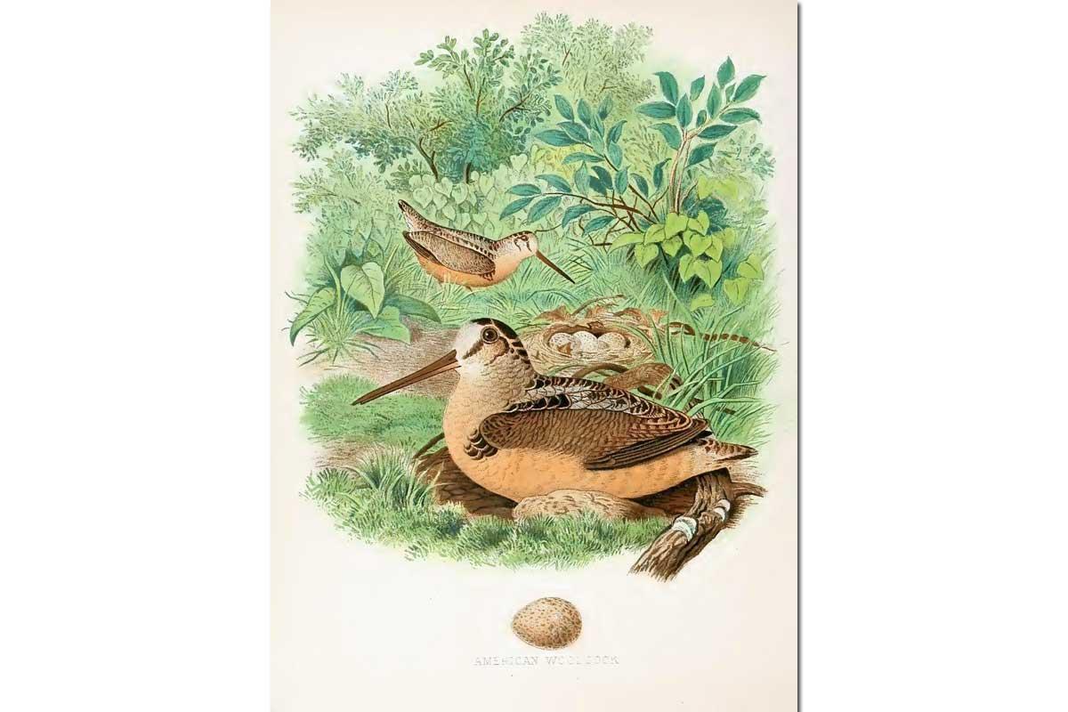 Nests & Eggs: American Woodcock