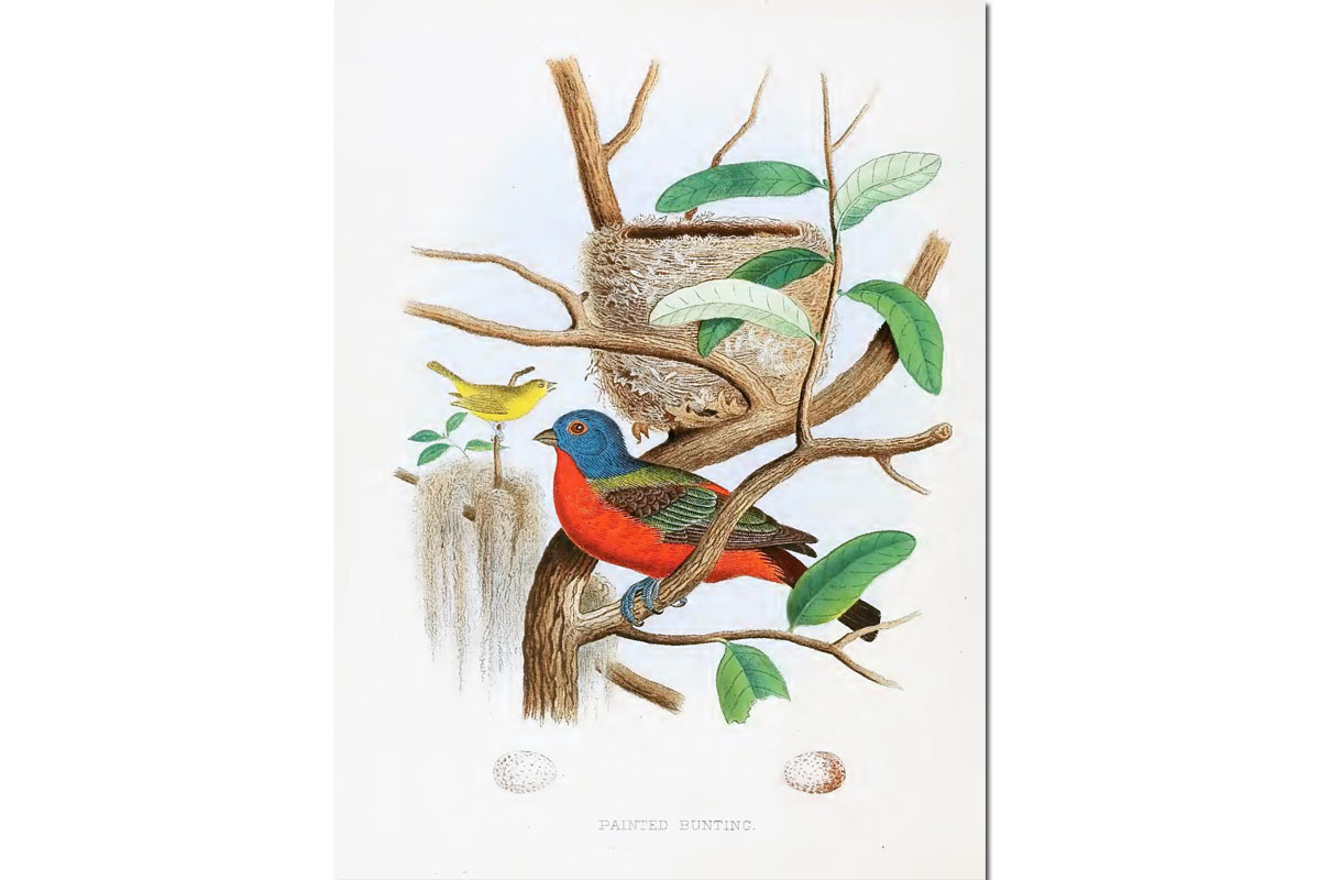 Nest & Eggs: Painted Bunting