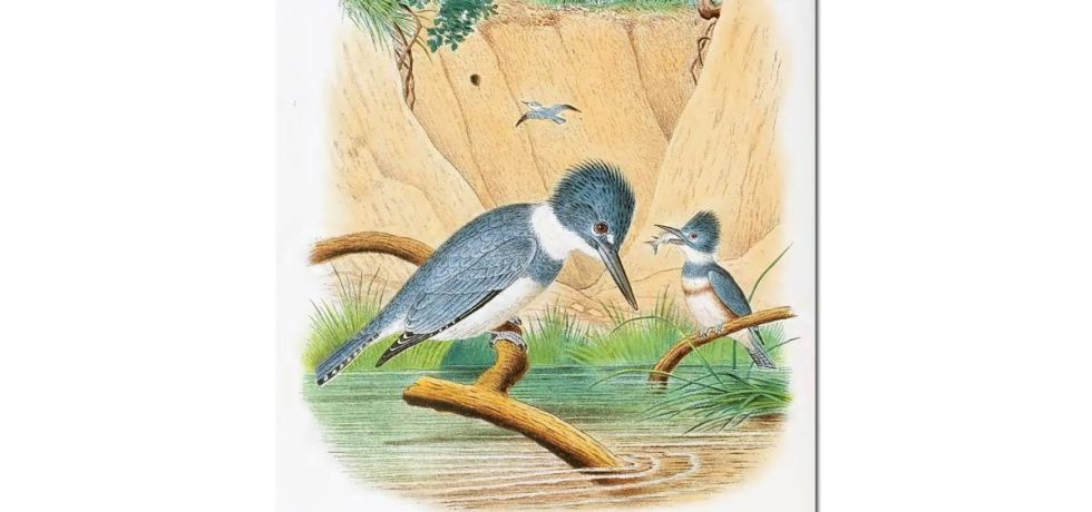 Nests & Eggs: Belted Kingfisher