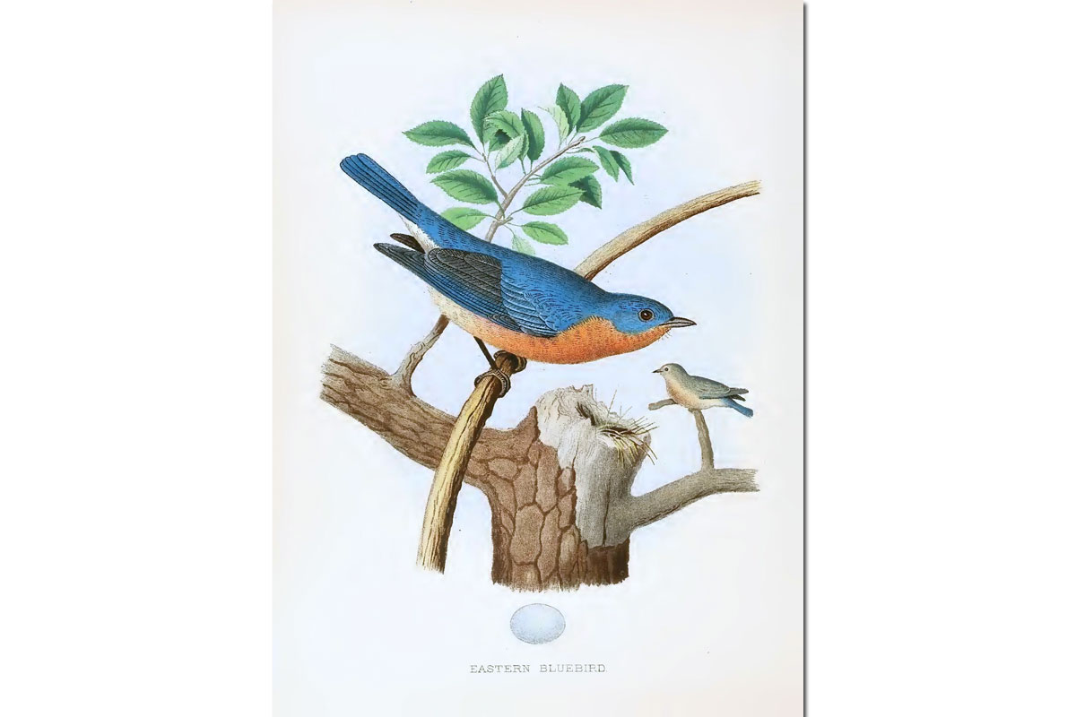 Nests & Eggs: Eastern Bluebird