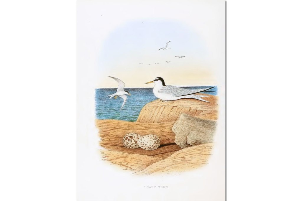 Nests & Eggs: Least Tern