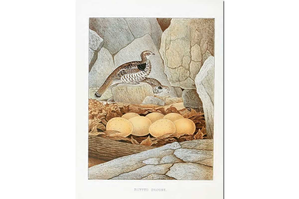 Nests & Eggs: Ruffed Grouse