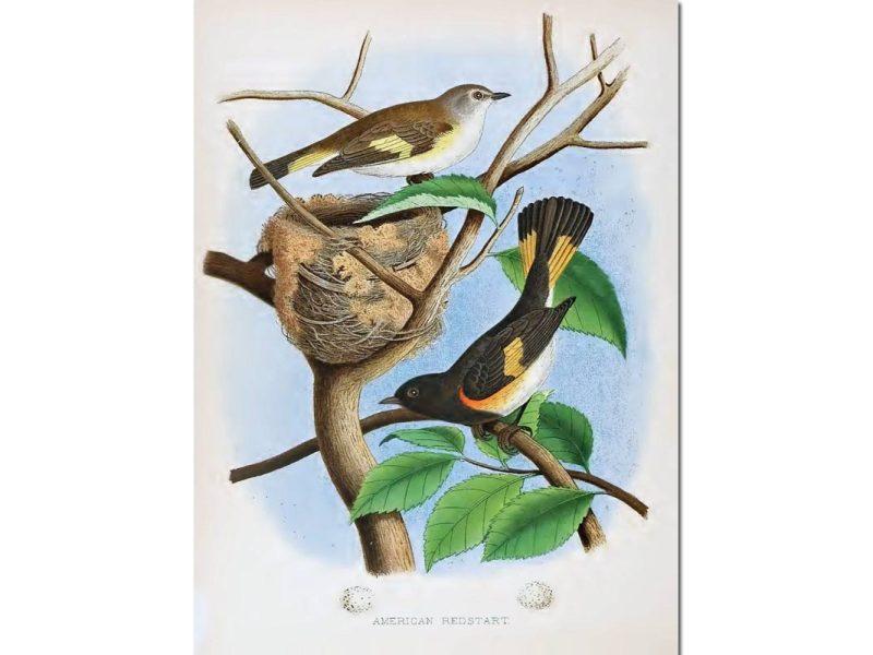 Nests & Eggs: American Redstart