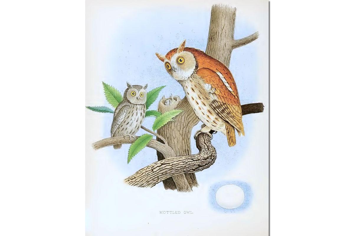 Nests & Eggs: Eastern Screech Owl