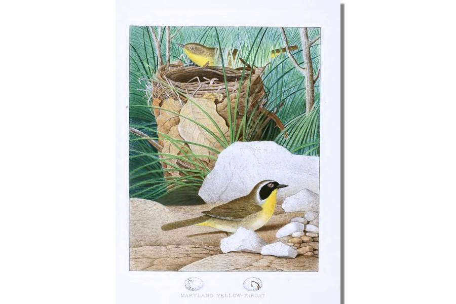 Nests & Eggs: Yellowthroat