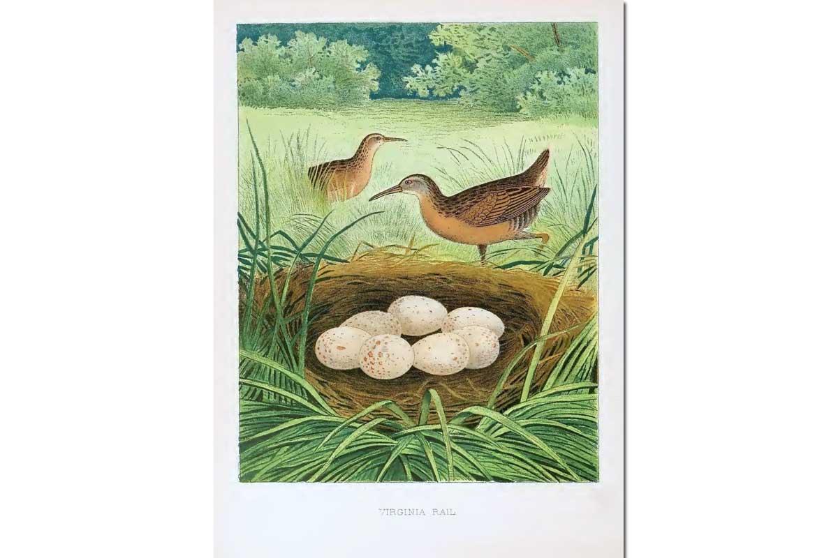 Nests & Eggs: Virginia Rail