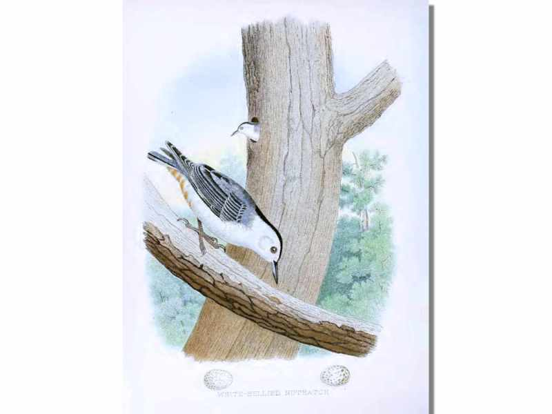 Nests & Eggs: Nuthatch