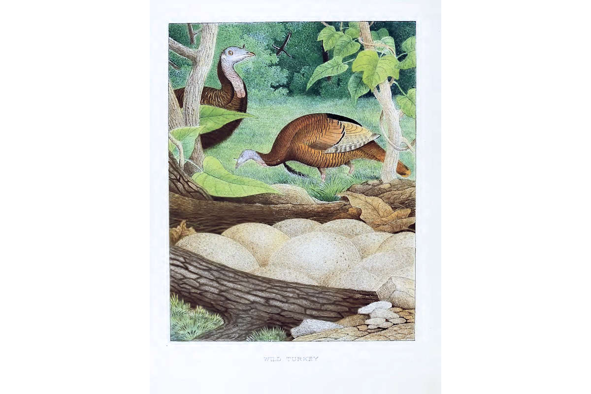 Nests & Eggs: Wild Turkey